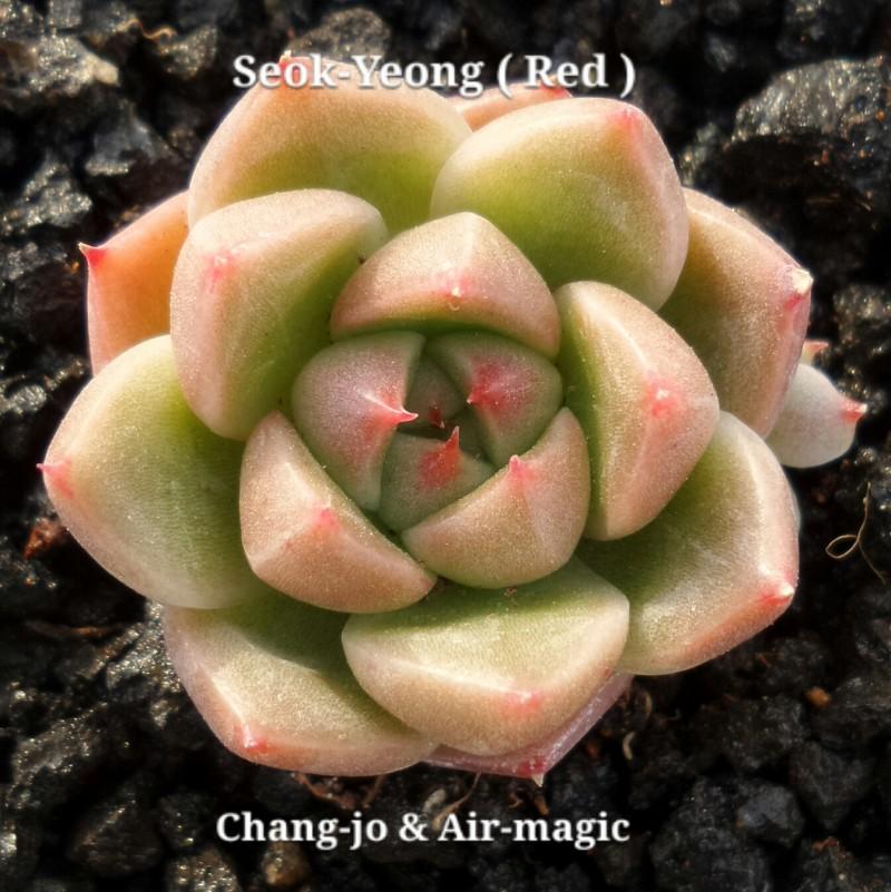 Echeveria 'Seok-Yeong' (Red)