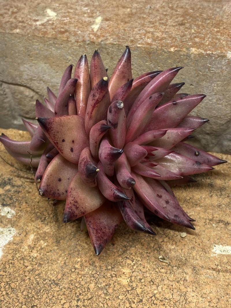 紫水晶 Echeveria Agavoides 'Amethyst'