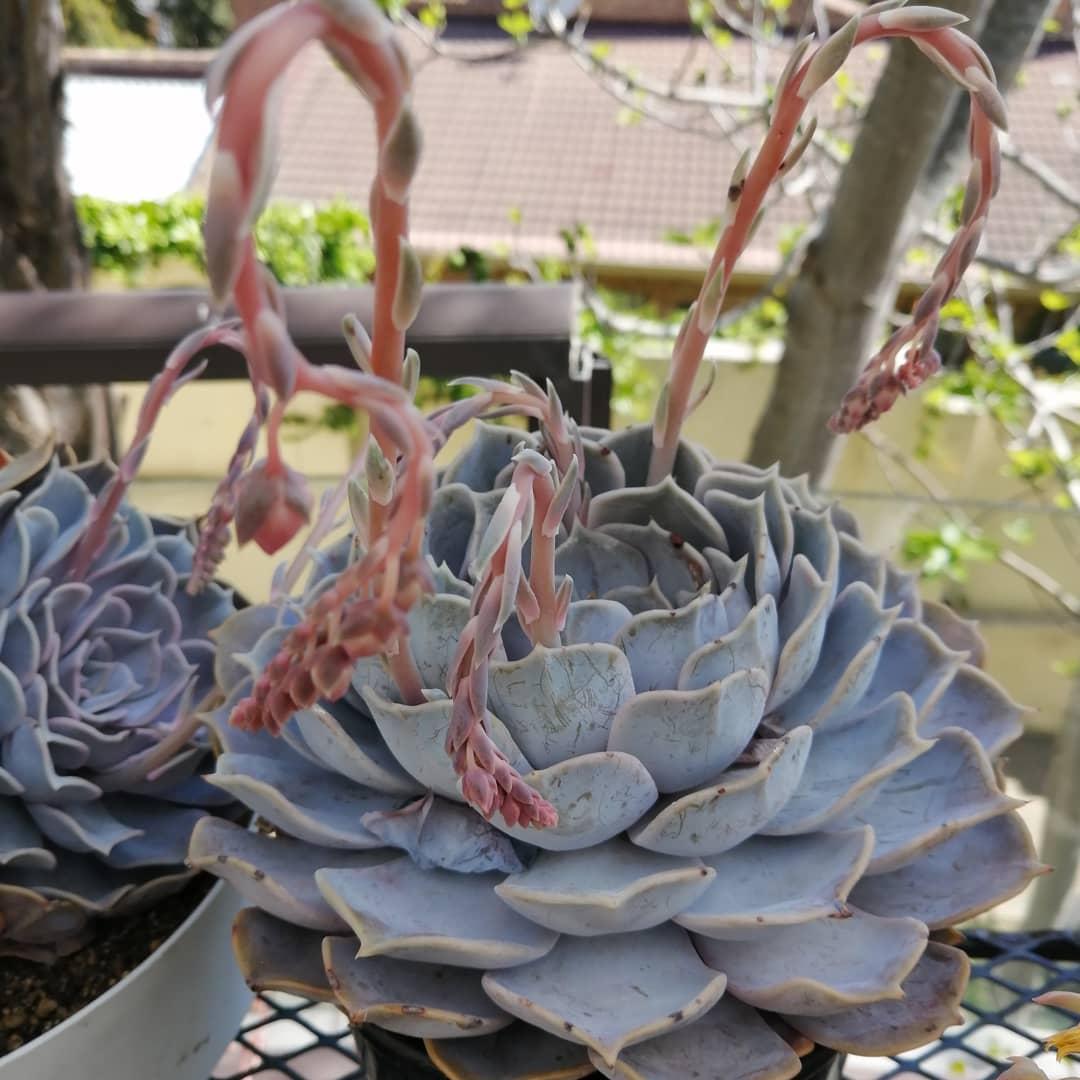 丽娜莲 Echeveria lilacina