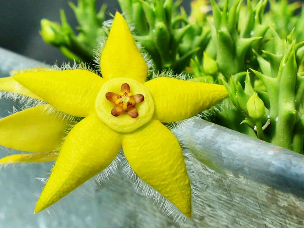 柠檬豹皮花 Orbea semota var. lutea