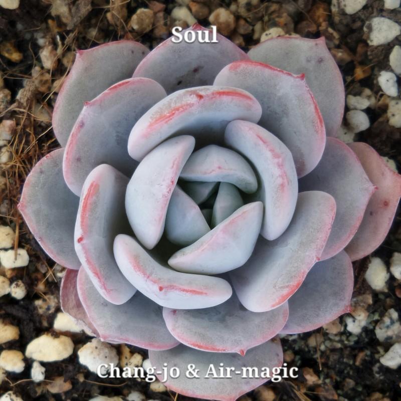 Echeveria 'Soul' 灵魂