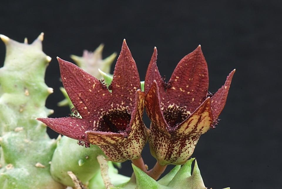 红幻窟 Orbea gerstneri ssp. elongata