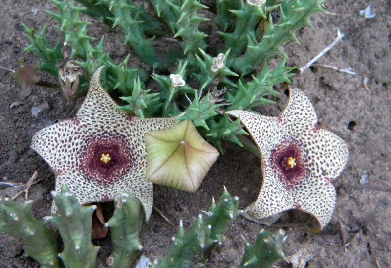 姬犀角 Orbea verrucosa
